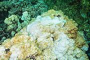 encrusting algae is starting to grow over a head of lobe coral, Porites lobata, bleached by warm sea temperatures during 2015 El Nino event, Honaunau Bay, Kona, Hawaii ( Big Island ), Hawaiian Islands, USA ( Central Pacific Ocean )