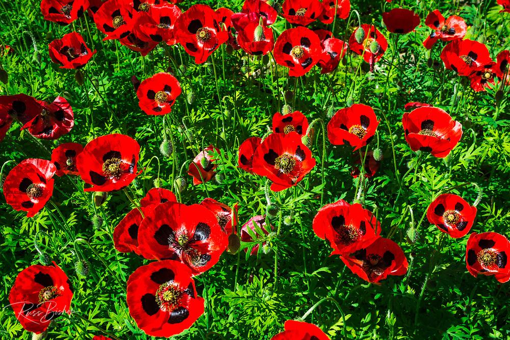 Poppies at Cascade Gardens, Banff National Park, Alberta, Canada