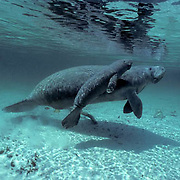 West Indian Manatee, (Trichechus manatus) Cow with 1-2 day old calf surfacing for air in spring. Florida.