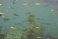 School of juvenile Yellow Perch<br /> <br /> Engbretson Underwater Photography