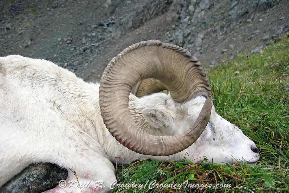 Full Curl Dall Sheep Ram in the Chugach Mountains of Alaska