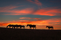 A small herd of horses graze in a mountain pasture, backlit by a fiery sky. It was an early July evening and the colors of sunset lingered long after 9PM. When I saw these horses lining up at the top of a hill I knew I had to get a picture before the colors faded. They wouldn't stay still for me, but I kind of like the effect of the motion blur on their legs and tails. The horses were my alarm clock the next morning when they wandered by my tent and started snorting loudly.