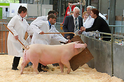 © Licensed to London News Pictures. 18/05/2019. Llanelwedd, Powys, Wales, UK. Judging of pigs starts on the first day of the Smallholding and Countryside Festival - A celebration of rural life – at the Royal Welsh Agricultural Society showground, Llanelwedd in Powys, UK. Photo credit: Graham M. Lawrence/LNP