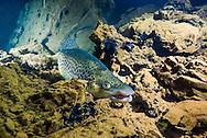 Brown Trout<br /> <br /> Jennifer Idol/Engbretson Underwater Photography