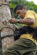 Piñas, Ecuador - Thursday, Jan 10 2008: A Fundación Jocotoco researcher, takes measurements to monitor the growth of El Oro Parakeet (Pyrrhura orcesi) chicks in Buenaventura Reserve, El Oro province, Ecuador. (Photo by Peter Horrell / http://www.peterhorrell.com)