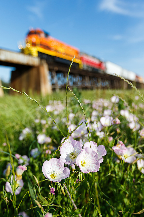 Pink Evening Primrose and railroad cars on trestle over Trinity River, Great Trinity Forest, Dallas, Texas, USA