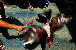 A man hits one of his roosters with a puppet made up to also look like a rooster.  He organizes cock fights in his community.  Nearly two months after a national strike devastated Venezuela's economy many people are still unable to find work.  With no money to leave their slum the cock fights are one of their only forms of entertainment.