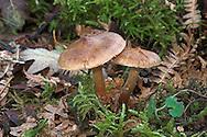 sepia webcap<br /> Cortinarius decipiens