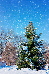 Blue Skies and Flakes Of White Blanket The Evergreen That Stands Tall With The Only Foliage Color Left As Winter Sets In.