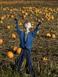United States, Wasshiington, Carnation, scarecrow in pumpkin field Halloween