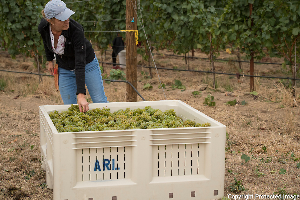 Arlyn vineyard harvest, Willamette Valley, Oregon
