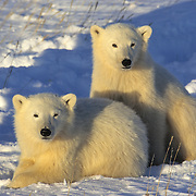 Polar Bear (Ursus maritimus) cubs resting in the snow near Churchill, Manitoba, Canada.