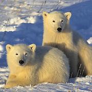 Polar Bear (Ursus maritimus) cubs resting in the snow near Churchill, Manitoba, Canada.
