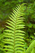 Fern, Tracheophyta, a vascular plant that reproduces via spores