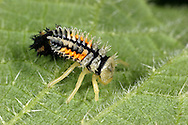 Harlequin Ladybird - Harmonia axyridis larva
