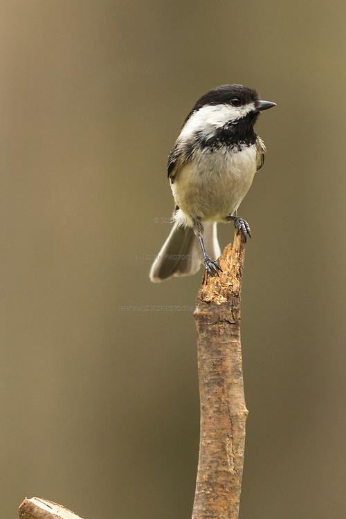 Black-capped chickadee perched on a stick