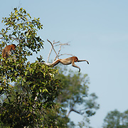Proboscis monkey leaps into the waters of the Sekonyer River, Tanjung Puting National Park. Central Kalimantan region, Borneo.