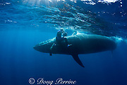 photographer Brandon Cole swings camera away from Bryde's whale, Balaenoptera brydei or Balaenoptera edeni, as it brushes past after making a sudden turn to avoid hitting a marlin feeding on a baitball of sardines, off Cabo San Lucas, Baja California, Mexico ( Eastern Pacific Ocean ) #3 in sequence of 4