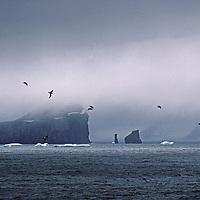 Sea birds fly through fog by cliffs on the Antarctic Peninsula, Antarctica.