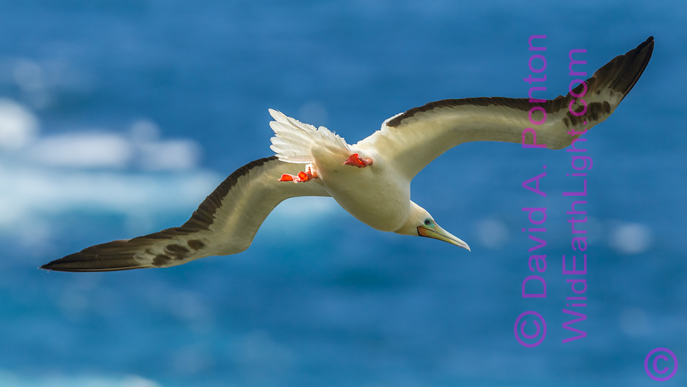 Red-footed booby flying above the ocean on the coast of Kauai, Hawaii, © David A. Ponton