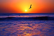 Seagull Flies ThroughThe  Sunset