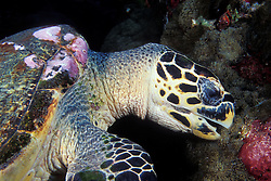 A Hawksbill Turtle, Eretmochelys imbricata, takes a bite from a colony of coralimorpharians. Similan Islands Marine National Park, Thailand, Andaman Sea