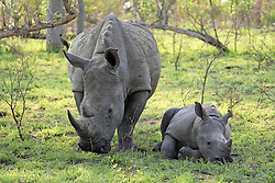 June 23, 2015 - Wide-mouthed Rhinoceros, female with young, Kruger national park, South Africa  (Credit Image: © Tuns/DPA/ZUMA Wire)