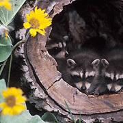 Raccoon, (Procyon lotor) Young in hollow log.Arrowleaf Balsamroot flowers in bloom. Montana. Captive Animal.