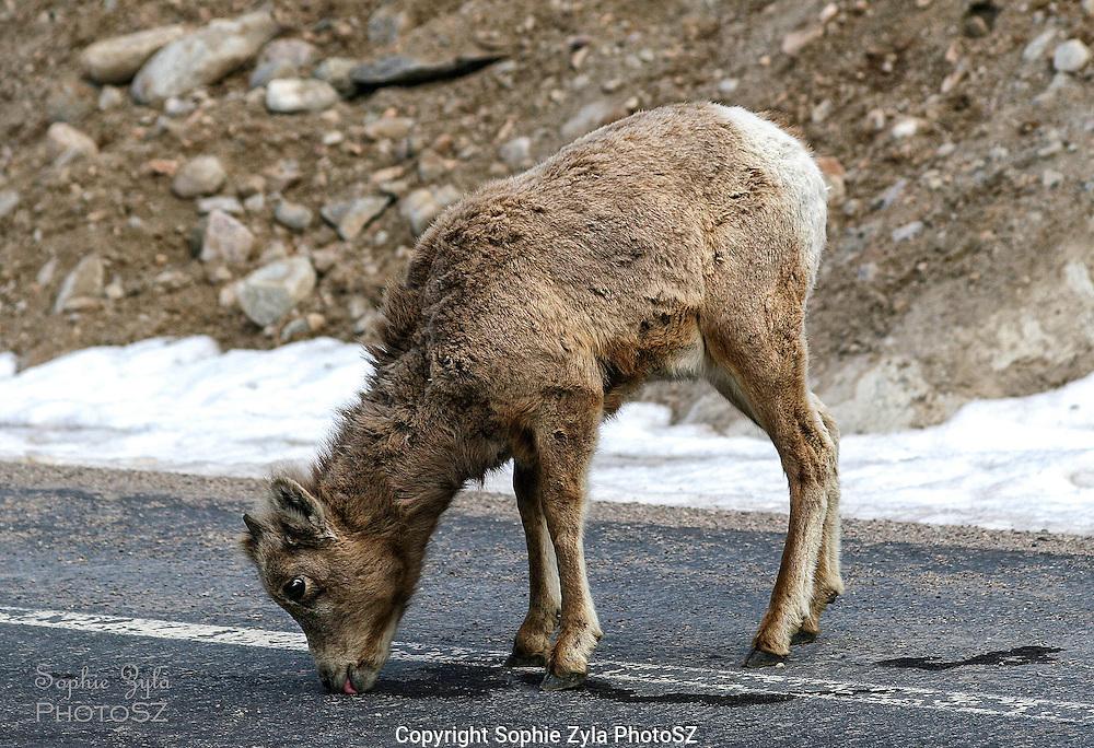 Bighorn Sheep calf enjoying road salt