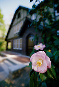 Silky Camelia bloom in front of the home of Eudora Welty, pulitzer award winning author, now a public museum - Jackson, Mississippi