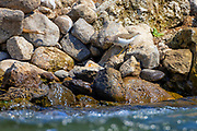 A spotted sandpiper (Actitis macularius) in non-breeding plumage hunts from its rocky perch along a creek in Potholes State Park, Grant County, Washington.