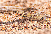 The western side-blotched lizard is a subspecies of the common side-blotched lizard found over most the the American Southwest. This one photographed in Joshua Tree National Park in Southern California's Mojave Desert was the most numerous of lizard species I'd found.