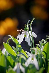 Bee on Galanthus elwesii syn. Galanthus graecus Orph. ex Boiss - Elwes's snowdrop, Greater snowdrop.