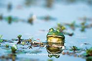 02471-003.03 Bullfrog (Rana catesbeiana) in wetland Marion Co. IL