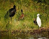 African Openbill, White-faced Whistling-Duck, Little Egret and, Long-tailed Cormorant.  Chobe River, Botswana. Image taken with a Nikon 1 V3 camera and  70-300 mm VR lens.