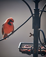 Northern Cardinal. Image taken with a Nikon D5 camera and 600 mm f/4 VR lens (ISO 220, 600 mm, f/4, 1/1250 sec).