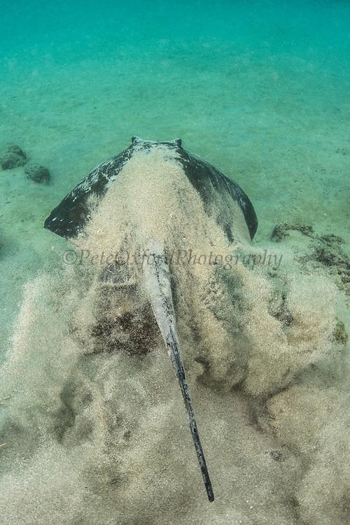 Southern diamond stingray (Dasyatis dipterura)<br /> Tower Island<br /> Galapagos<br /> Pacific Ocean<br /> Ecuador, South America