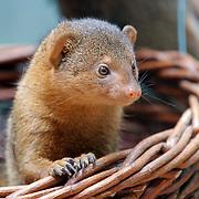 Dwarf mongoose, Berlin, Germany (June 2007)