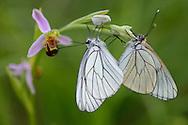 Woodcock orchid, Ophrys cornuta/scolopax, with mating Black veined white  butterflies, Aporia crataegi,  on it, Bela Reka, Eastern Rhodope mountains, Bulgaria