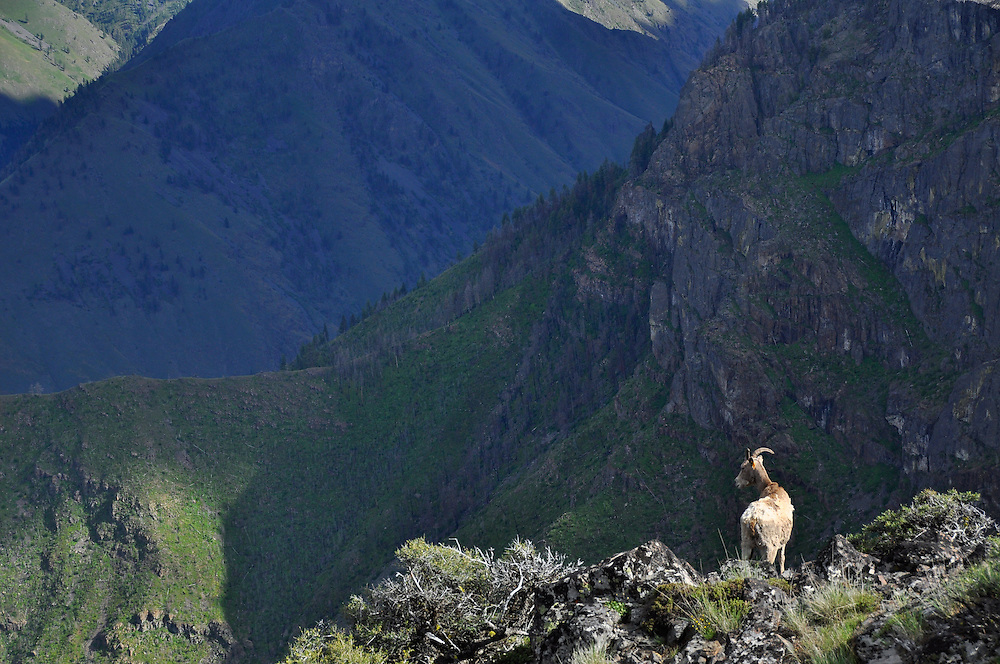 Bighorn sheep on edge of  the inner gorge of Hells Canyon, Oregon.