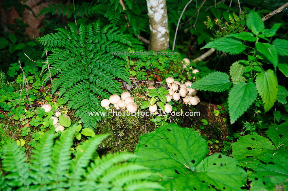 Large group of mushrooms (Agaricus sp) growing on the forest floor, Tirol Austria