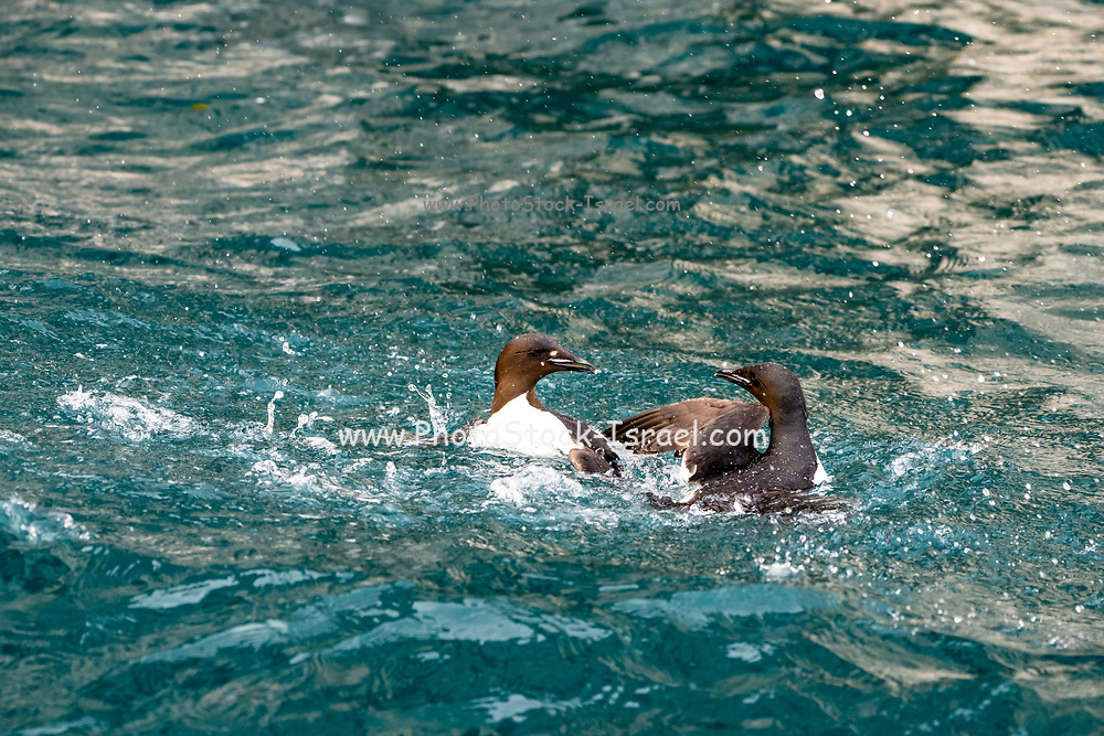 thick-billed murre or Brunnich's guillemot (Uria lomvia) in a fight. This coastal sea-bird is native to northern latitudes of Europe, Asia and North America. It feeds mainly on fish and breeds in large colonies on cliff-sides. Photographed in Spitsbergen, Norway in July.