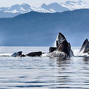 Passengers aboard a recreational fishing boat enjoying the show put on by humpback whales (Megaptera novaeangliae) bubble-net feeding in Chatham Strait, Alaska.