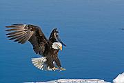 Bald Eagle, Haliaeetus leucocephalus, landing on ice and snow, Kenai Peninsula, Homer Spit, Homer, Alaska. Digital original, #2006_0620 ©Robin Brandt