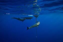 three false killer whales, Pseudorca crassidens, ganging up on a lone yellowfin Tuna, Thunnus albacares, which is taking refuge under the FAD (Fish Aggregation Device), off Kohala Coast, Big Island, Hawaii, USA, Pacific Ocean