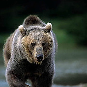 Grizzly Bear, (Ursus horribilis) Adult Grizzly fishing for trout in high mountain lake. Southwestern Montana.  Captive Animal.