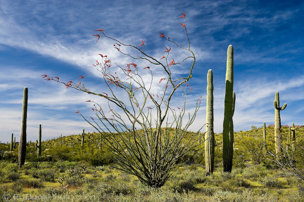 Ocotillo and Saguaro Cactus in the Arizona Sonoran desert with expansive clouds