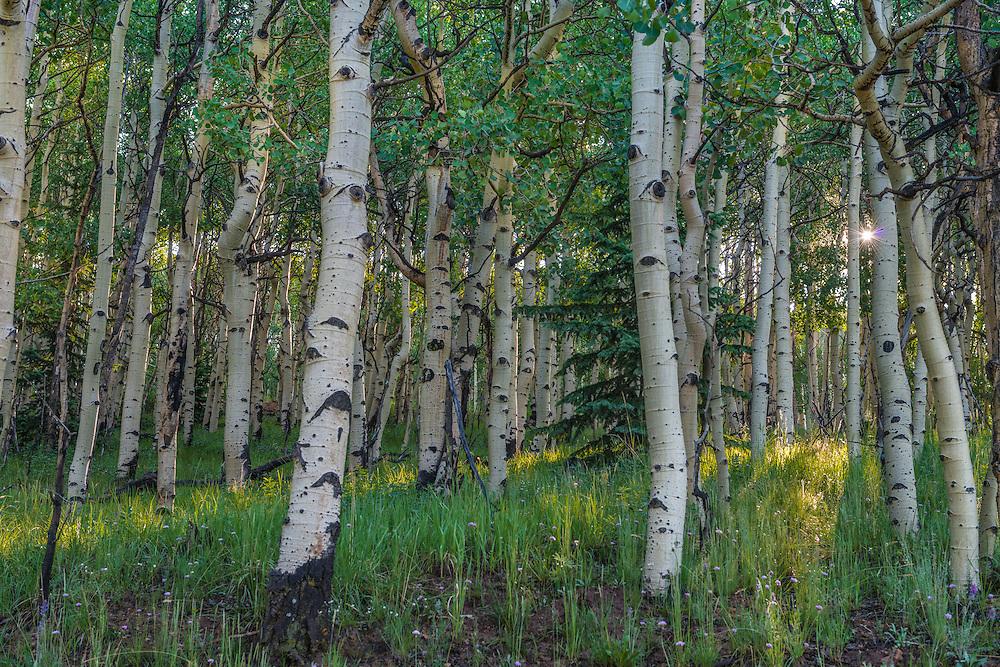 Sunrays through birch tree trunks in summer forest, Cripple Creek, CO
