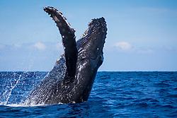 humpback whale, Megaptera novaeangliae, breaching, Haleakala of Maui in background, Hawaii, USA, Pacific Ocean