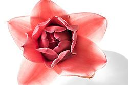 Red Ginger Flower, Etlingera elatior#2